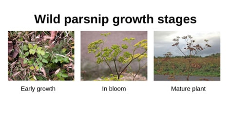 Wild parsnip growth stages