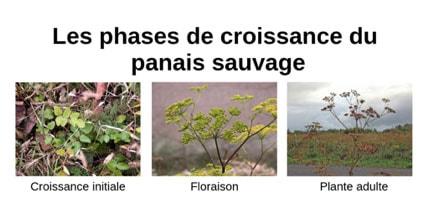 Les phases de croissance du panais sauvage