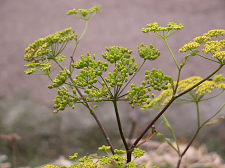 City begins Wild Parsnip program on May 19