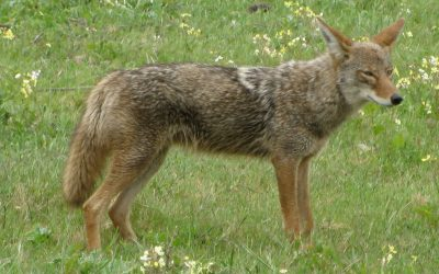 How to prevent and manage conflict with coyotes in urban areas