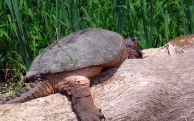 June is nesting season for snapping turtles